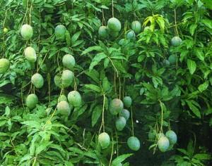 xoai 300x236 Chữa bệnh viêm đại tràng   công dụng đáng ngạc nhiên từ cây xoài