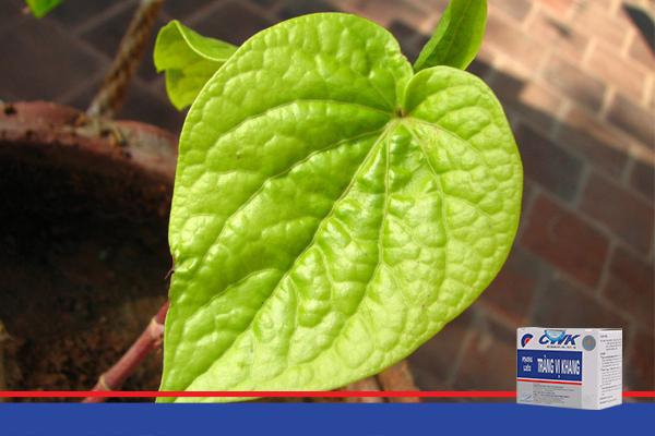 la trau khong trang vi khang1 Công dụng tốt của lá trầu không với hệ tiêu hóa